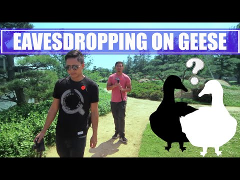 EAVESDROPPING ON GEESE