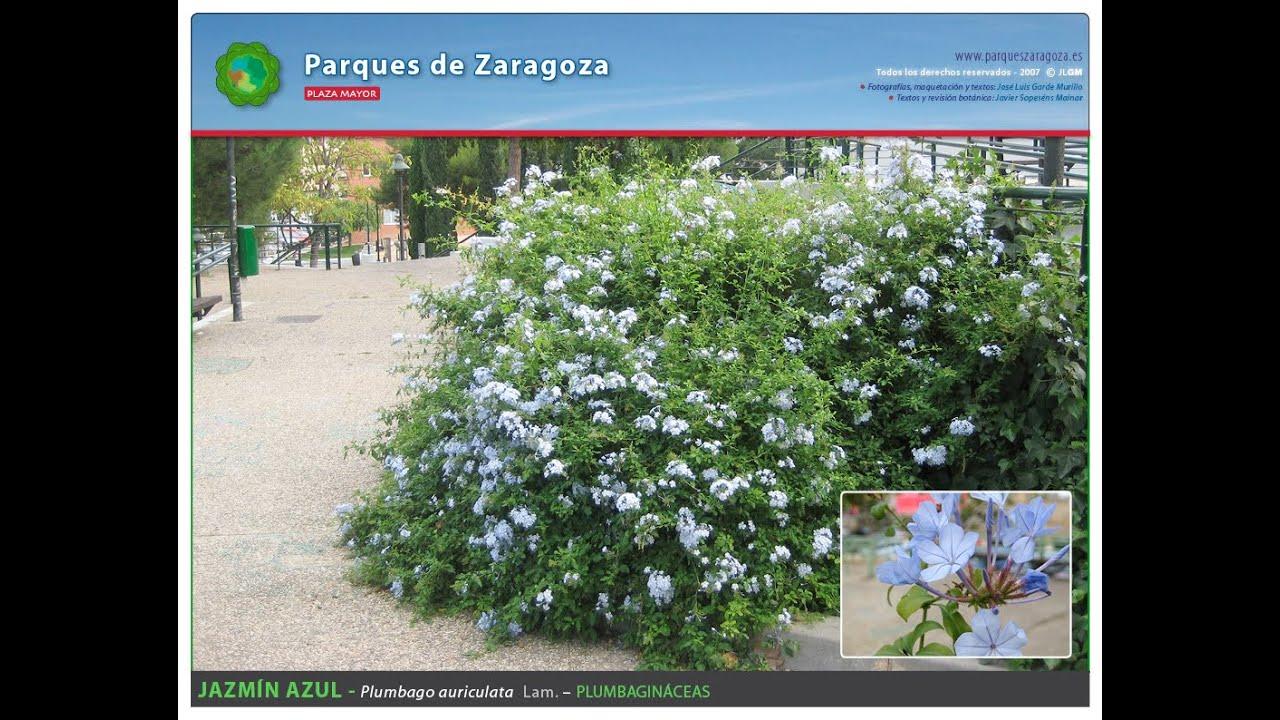 Plaza Mayor De Zaragoza Especies Ornamentales Youtube