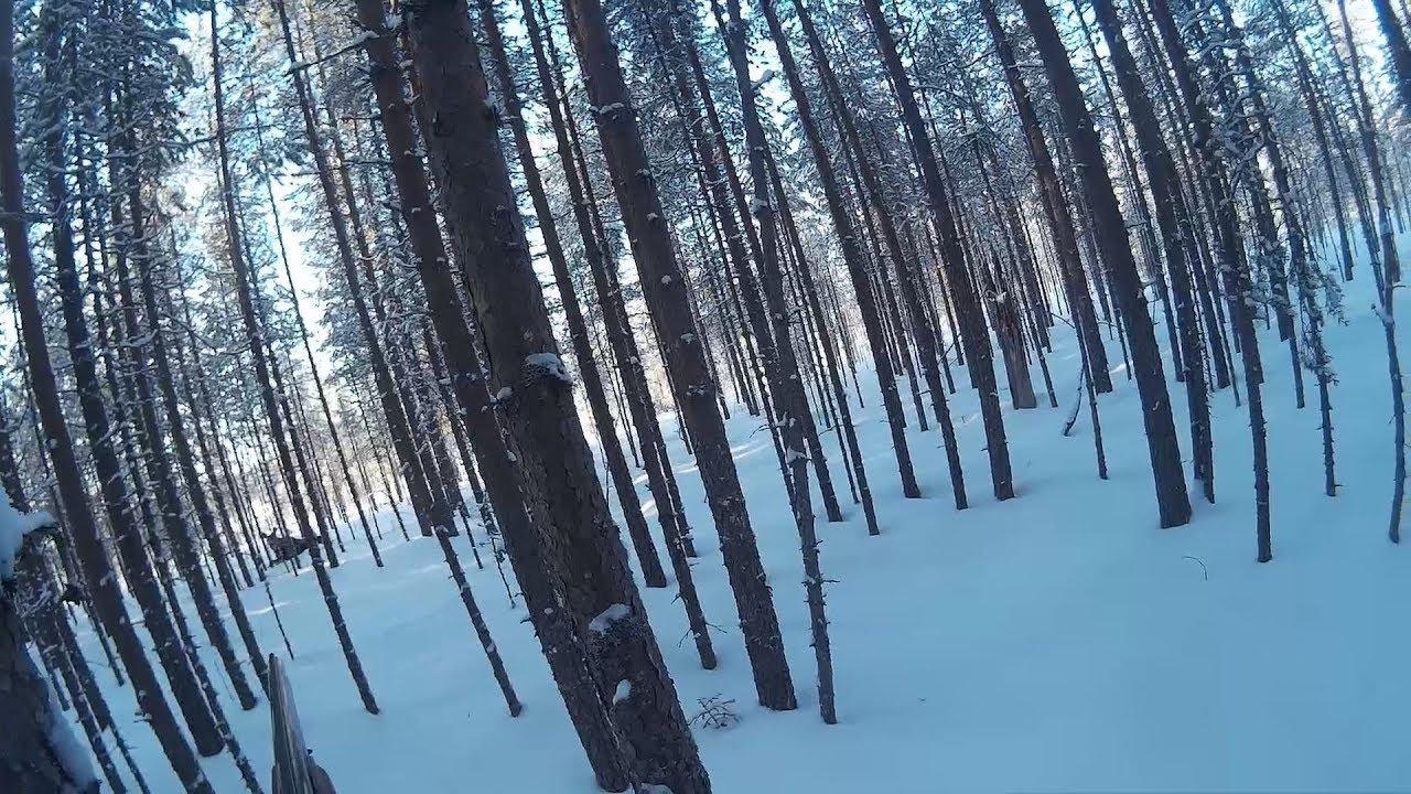 Охота на лосей с подхода  | Moose hunting