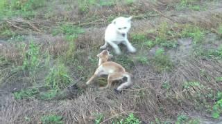 Травка собаки на лису ...