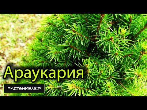 Араукария или комнатная ель .