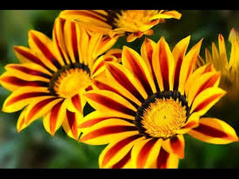 Газания цветок. Сажайте газанью!