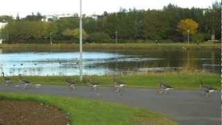 アイスランドのチョルトニン湖で鳥が行進していました。 おもしろかった...