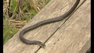 Дачные участки кишат змеями