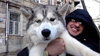 Шикарный ЩЕНОК ХАСКИ. Chic Puppy Siberian Husky. Одесса.