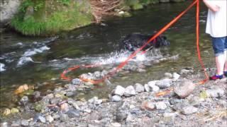 ニューファンドランドのウズメが初めての川遊びに挑戦!オールドイング...
