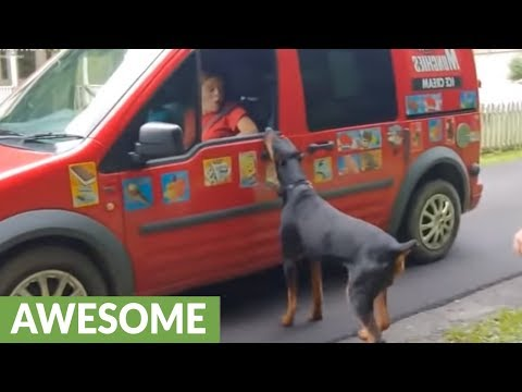 Excited doberman waits for ice cream truck