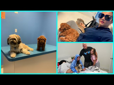 Puppy's First Visit to the Vet. Mini Poodle The First Time At Doctor! SISTERFOREVERVLOGS #711