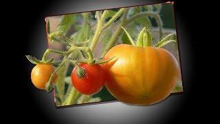Cara Menanam Tomat Agar Berbuah Lebat Teknologi Organik Modern