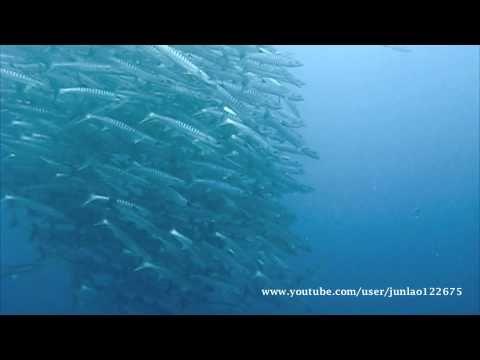 Giant Chevron Barracuda- Bohol Ph