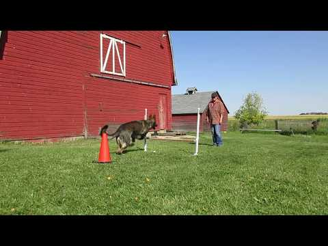 Novice Trick Dog - 6. Jump Over a Bar.