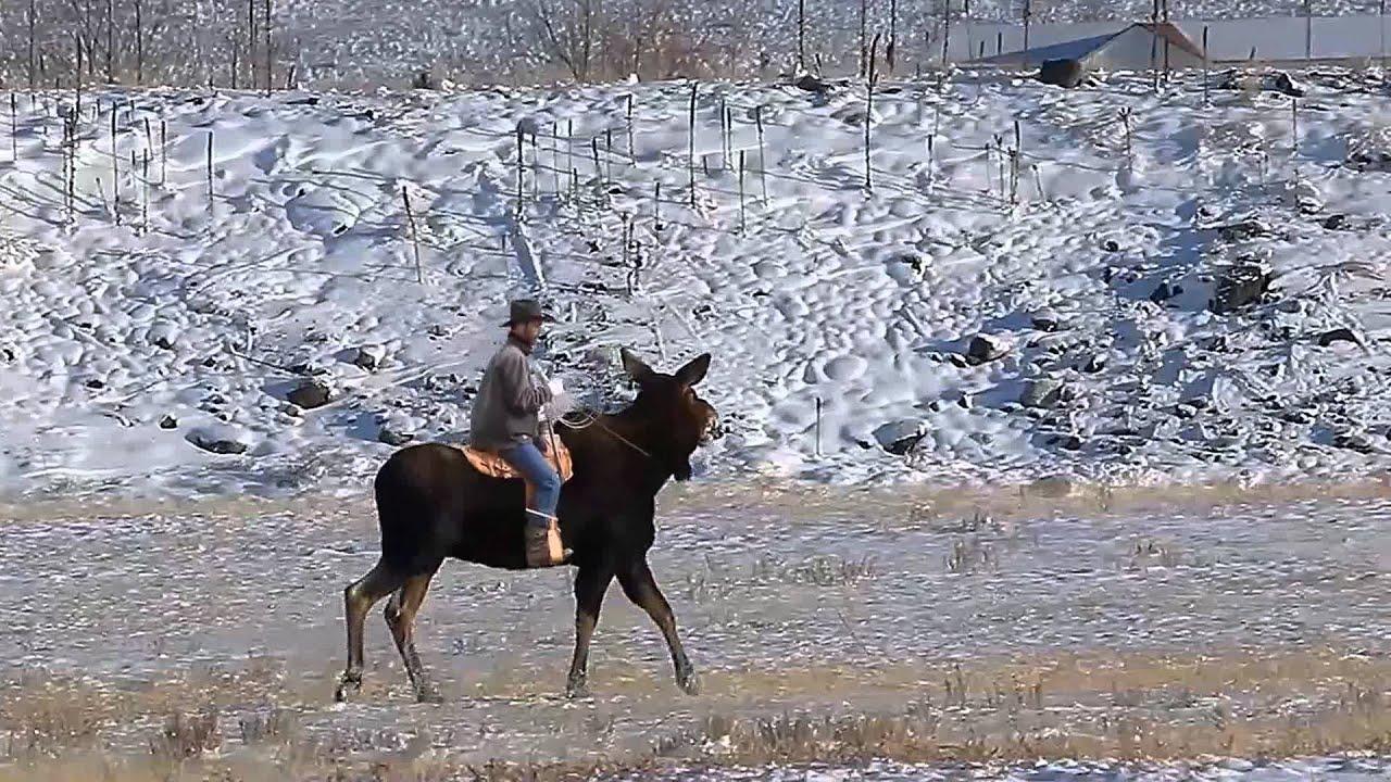 Paul Riding A Moose YouTube