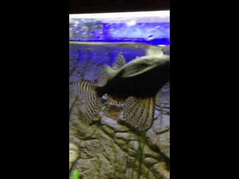 red devil and feather fin catfish from YouTube · High Definition · Duration:  2 minutes 44 seconds  · 306 views · uploaded on 2/18/2015 · uploaded by Ts030power