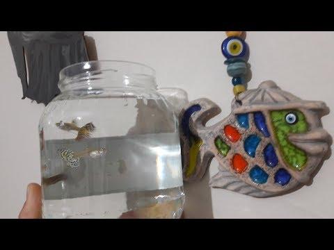 LEPİSTES AKVARYUMU NASIL OLMALI ?, Akvaryum Balıkları, Lepistes Aquarium Preparation