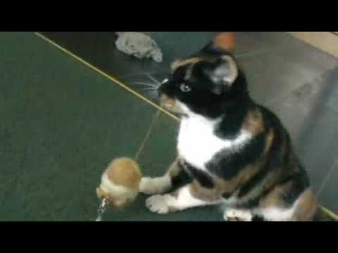 Maggie (the cat) and her wind-up toy trick