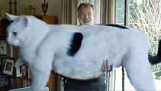 Очень большие кошки! ТОП 10 САМЫХ БОЛЬШИХ КОШЕК В МИРЕ