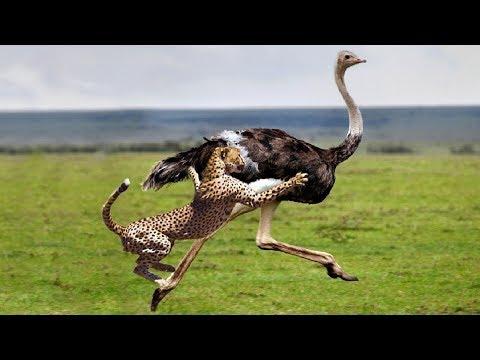ГЕПАРД В ДЕЛЕ! Гепард против гиены, страуса,  антилоп, кабанов