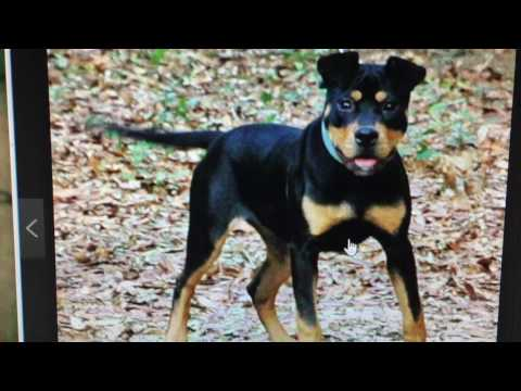 BLACK AND TAN AMERICAN PIT BULL TERRIERS  (THIS BREED ISN'T TRI COLOR.)