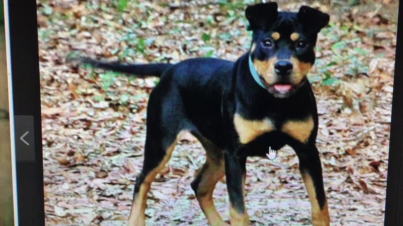 BLACK AND TAN AMERICAN PIT BULL TERRIERS (THIS BREED ISN'T ...