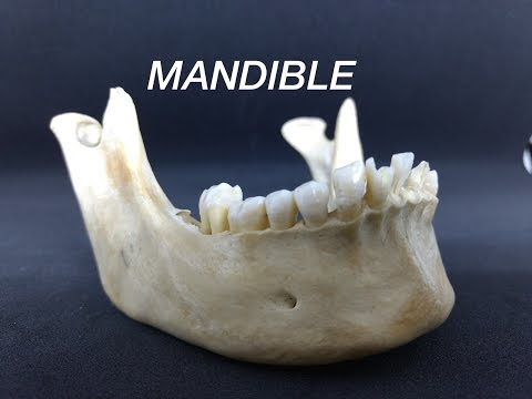 MANDIBLE - GENERAL FEATURES & ATTACHMENTS