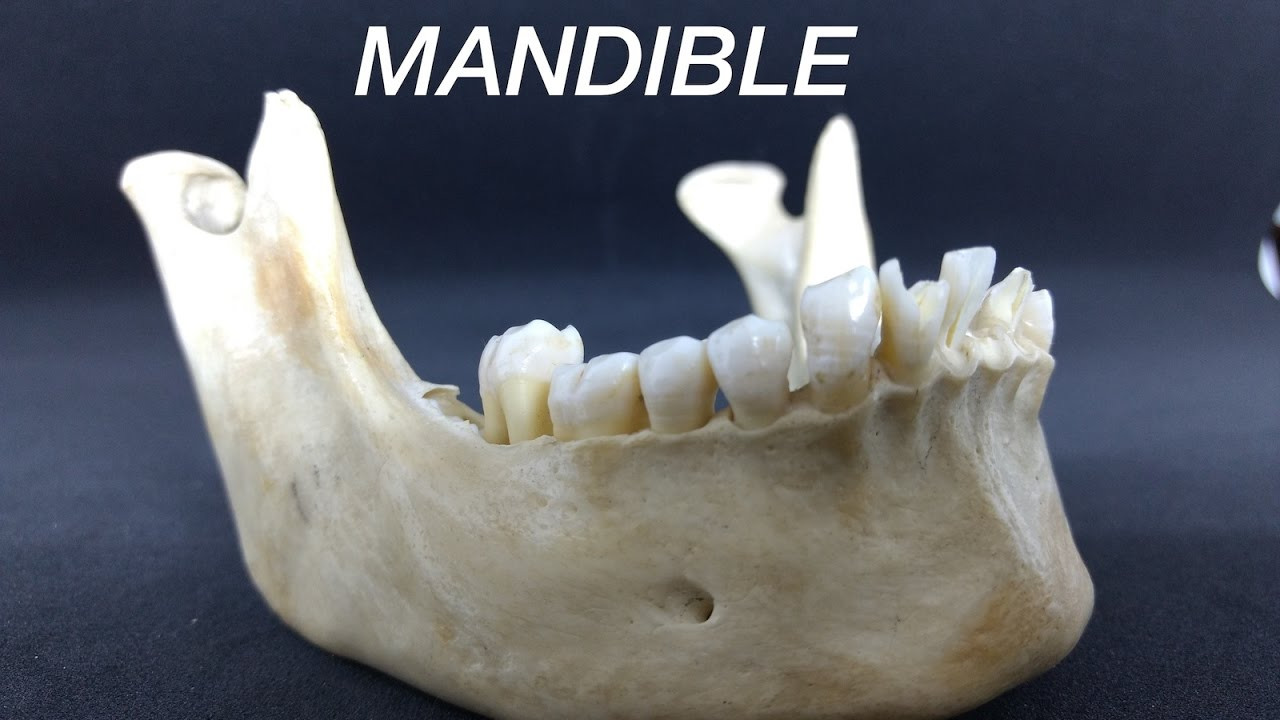 mandible general features attachments youtube