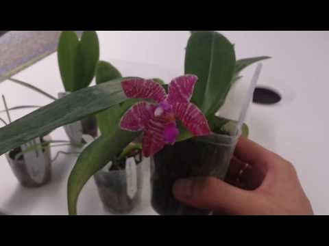Orchid Haul - Phalaenopsis Species, Primary Hybrids, and Complex Hybrids