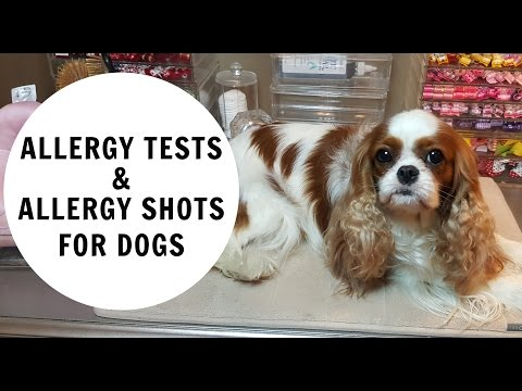 ALLERY TESTING AND ALLERGY INJECTIONS IN DOGS