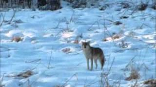 Coyote howling in daylight