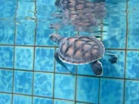 My Green Sea Turte Swimming The Pool Youtube