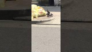 リアルで初めて見た鳩のけんか。壮絶で衝撃でした。