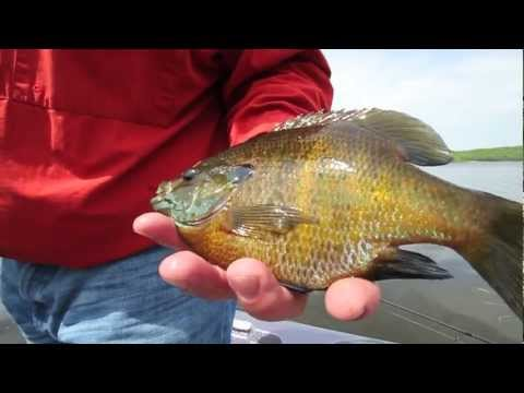 Monster Minnesota Bluegills