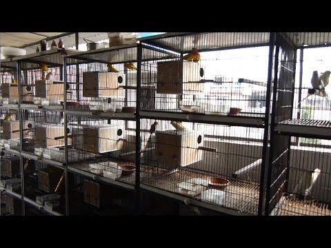 Complete Love birds Pairing Overview  Albino and Lutino Red Eyes Lovebirds