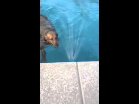 Dog attacks aerator in pool.