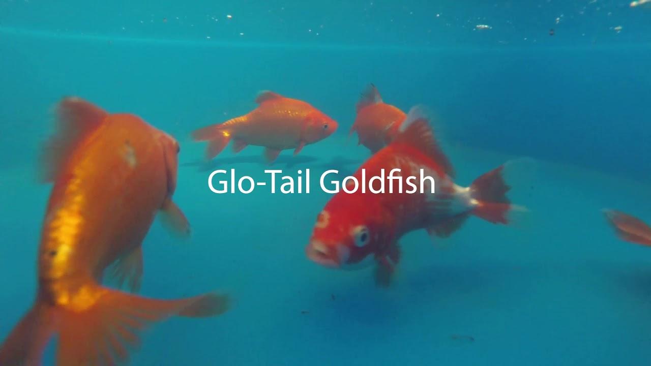 We Pick 1 Glo-Tail Goldfish