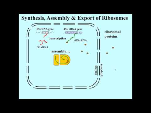 rRNA ribosome assembly and export