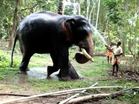 Kerala Elephant (Pallathankulangara Gireesan)2 - YouTube
