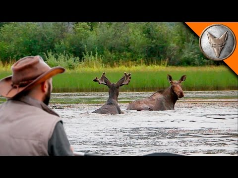 Wild Moose Encounter!