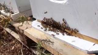 пчеловодство . поведение пчёл .(вот такое поведение пчёл . в прошлый раз увидел , увеличил леток , перестали . сегодня приезжаю а они опять..., 2015-06-10T14:46:47.000Z)
