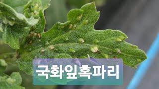 국화 잎과 줄기에 혹을 만드는 국화잎혹파리