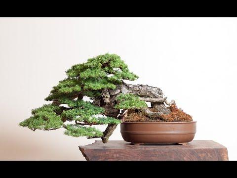 Hemlock (Tsuga) Bonsai Tree