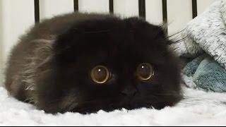 ТОП 10 Самых пушистых котов на планете