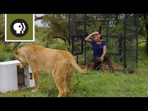 Are lions the most intelligent cat?