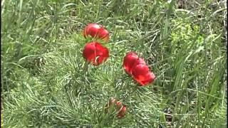 Посадка, выращивание и особенности ухода за пионом тонколистным