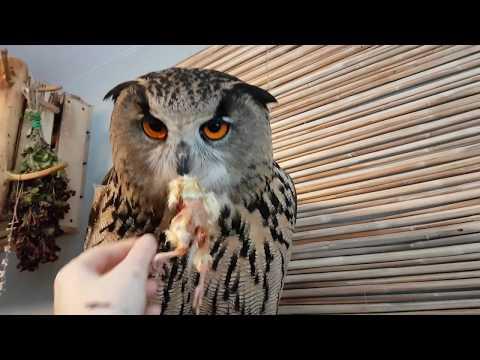 Вопрос: Кто из других животных ест, питается, употребляет в пищу сов?