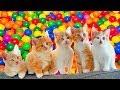 Si Meong Kucing Lucu Mandi Bola Warna Warni Lagu Anak
