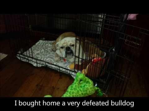 British Bulldog Rescue Sucess Story