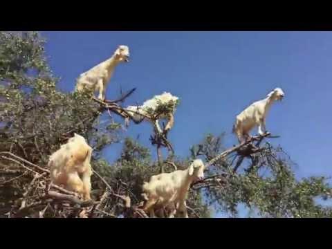 Козы на дереве Tree Goats Original