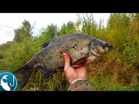 Трудовой осенний лещ на фидер | Рыбалка с Родионом