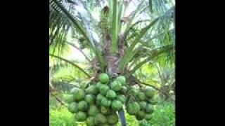 Bán, Dừa Xiêm Bến Tre giá sỉ, số lượng lớn, Dừa khô, dừa khô xuất khẩu