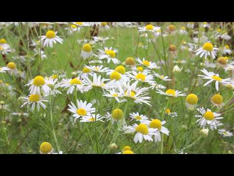 Royalty free video - Flower 9 (Full 1080p HD) *FREE DOWNLOAD*
